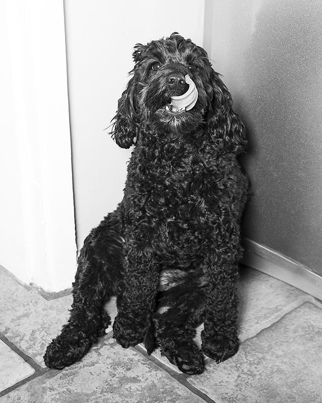 dog photographer, birmingham, solihull, west midlands, portrait photographer birmingham, idp, ian davies photo